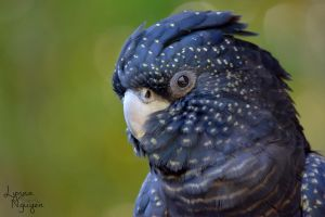 Looking at you (Red-tailed Black Cockatoo) by ShineeDragon