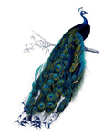 Vintage Peacock PNG by frenzymcgee
