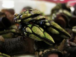 Percebes in Cedeira by lauchapos