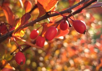 The Berries Of Autumn by spm62