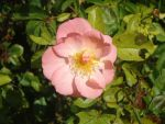 pink wild rose by KittyPersonSama13535