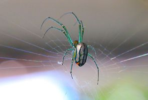 Orchard Spider by FallOut99