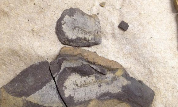Shale Arthropod Claw by Pr0teusUnbound