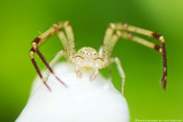The Banded Crab by FramedByNature