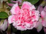 Carnation by pippierafrostlin
