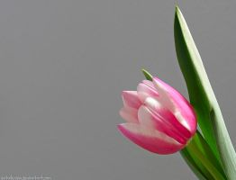 Single pink tulip by sataikasia