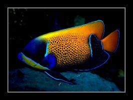 Angelfish by Althytrion