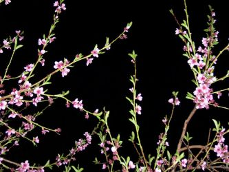Night Blossoms - Nectarine 03 by SarahsSnapshots