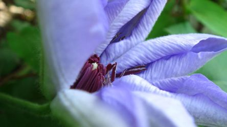 clematis by adderx99
