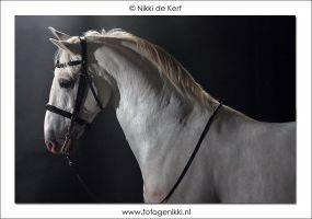 Lipizzaner Stallion by Fotogenikki