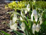 More Snowdrops by Lionpelt-66