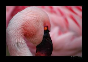Chile flamingo 2 by grugster