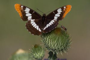 Lorquin's Admiral Butterfly by myekeh