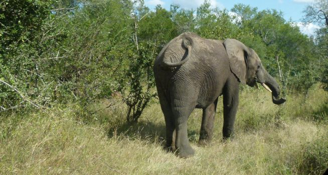 African Elephant - Kruger National Park by IATSATH