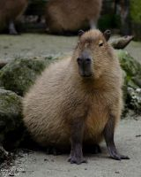 Capybara by AstarothSquirrel