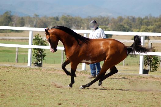 GE arab pinto bunched up canter about to rear side by Chunga-Stock
