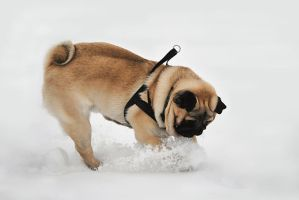 Pug in Movement by shortass205