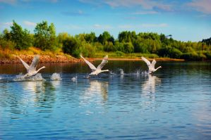 synchronized swans by all17