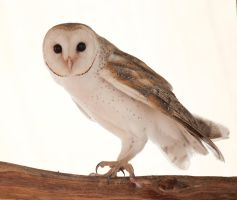Australian Barn Owl by 88-Lawstock