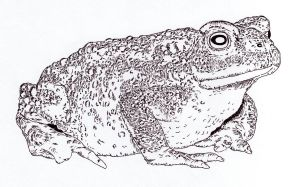 Toad by Jalipuchi