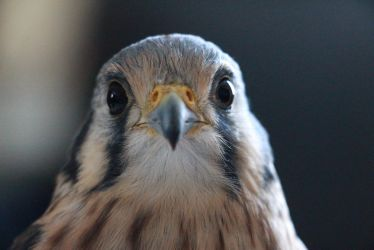 Arya the American Kestrel by Kairi292