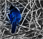Steller's Jay by Chillstice