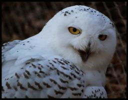 snow owl: I m not Hedwig by morho