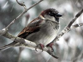 A Simple Sparrow Sitting Out The Storm by Lou-in-Canada