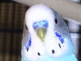 Budgie Face by True-Sathania