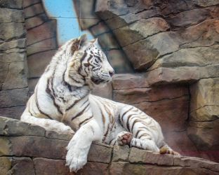 Tiger on The Rocks by CRG-Free