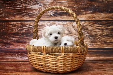 Gift-Basket Puppies!! by Dog-Lovers--Club