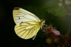 Green-Veined White by LucAnthonyRossiter
