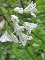Agapanthus by Iris-cup