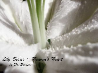 Lily Series - Heaven's Heart by doctor-surgeon