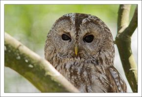 barred owl by Vioto2