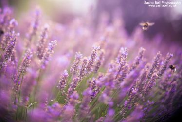Summer Lavender by thesashabell