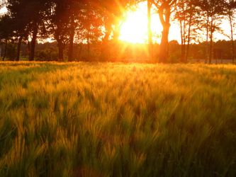 Sunset on wheat field by Robke22