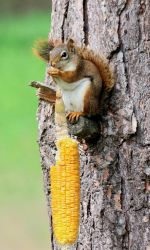 Squirrel Corn by boogster11