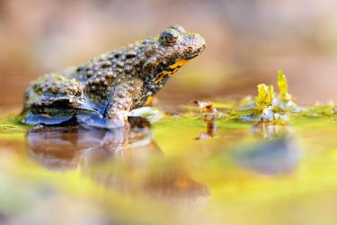 yellow-bellied toad by MartinAmm