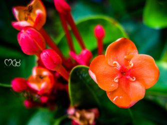 The Orange Flower by rjwarrier