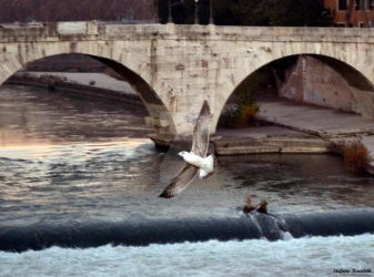 Seagull flies on the Tiber Island - Rome by Book-Art