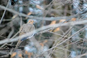 Mourning Dove by Spid4