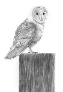 Barn Owl by PencilSessions
