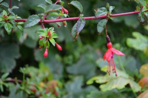 Land Of Wild Fuchsias And Kind Hearts by Shade-Duelist