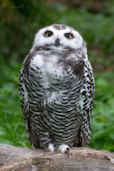 Young Snowy Owl by Enalla