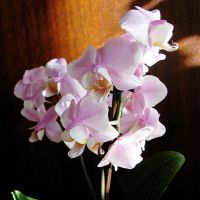 Phalaenopsis by cat-at-the-window