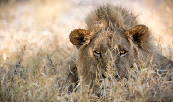 Botswana 2015 - Lurking in Kalahari... by Seb-Photos