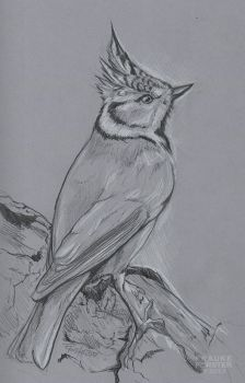 Crested tit pencil study by Thalathis