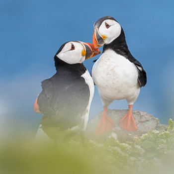 Kissing Puffins by NicoFroehberg