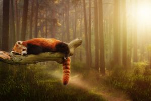 Red Panda by Atroksia-Photography
